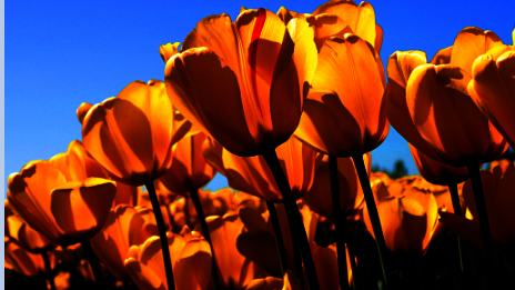 orange tulips | Dental Cleaning in White Bear Lake MN | White Bear Smiles